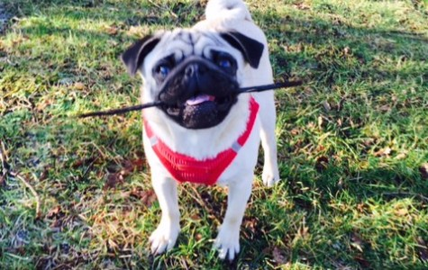 pug with stick